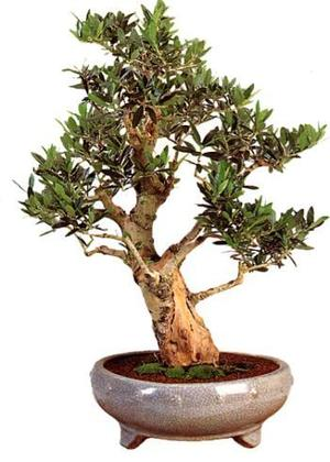 Bonsai Olive Tree, Indoor bonsai 20 seeds.